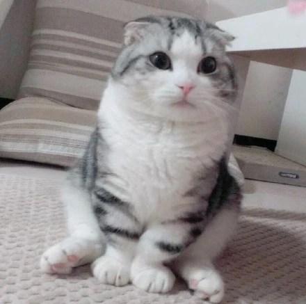 這隻短腿大臉貓,看鏡頭的眼神都超級迷人