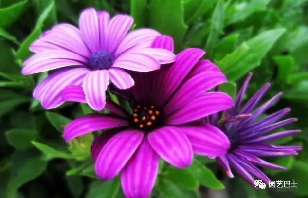 荷蘭菊的養護方式!