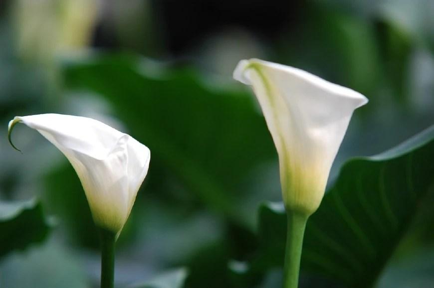 馬蹄蓮挺秀雅緻,花苞潔白,葉片翠綠,可藥用清熱解毒,治燙傷