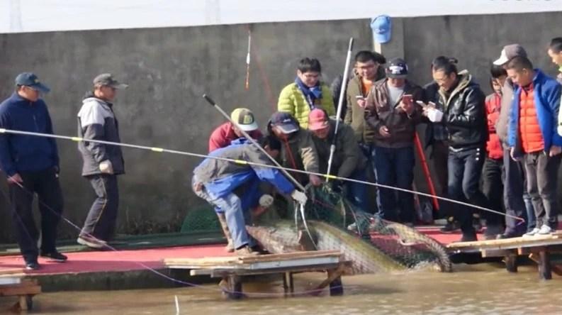 男子釣到超300斤巨魚,體型超成年人,魚塘主估計已哭暈