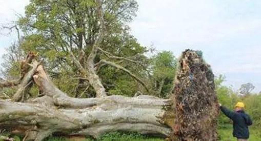 實拍500年大樹被連根拔起 專家竟發現神秘骸骨