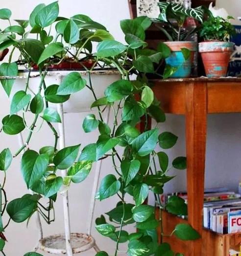 能養成綠色瀑布的植物有哪些