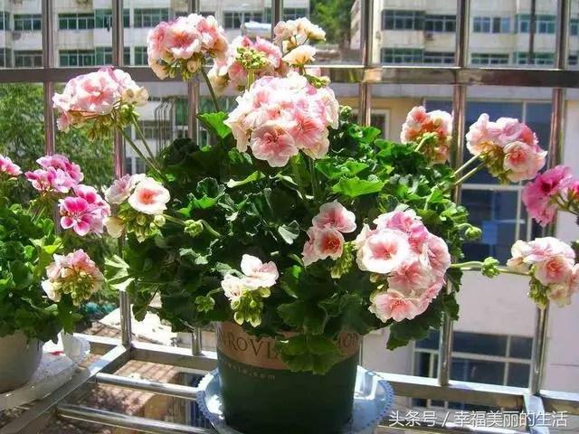 新手也能養活的幾種容易開花的盆栽植物