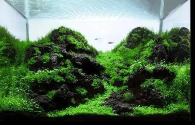 家庭常見魚缸水草辨識與養護