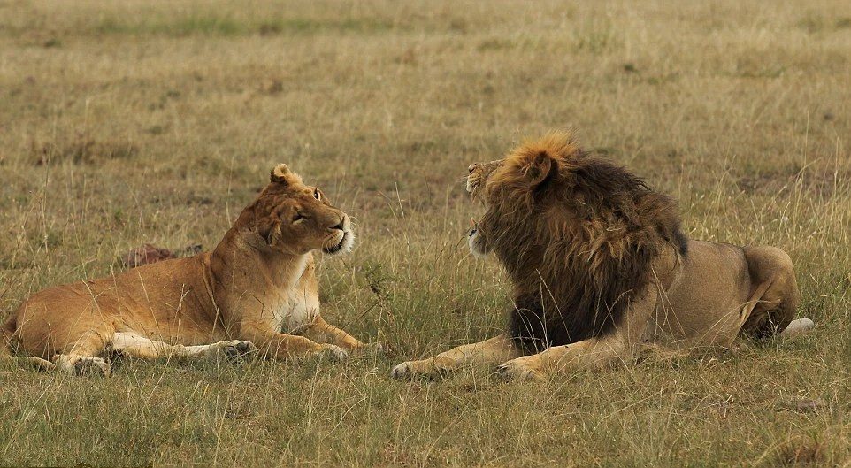 實拍獅子情侶火爆吵架現場,母獅賣萌求和