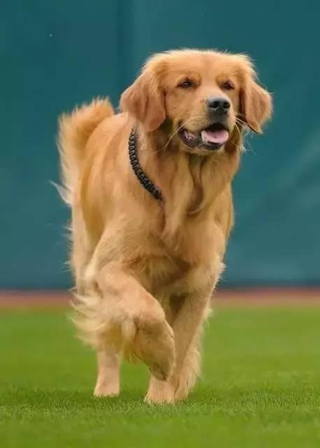 金毛成为职业棒球「最佳球员」,见过它的人都会被圈粉!