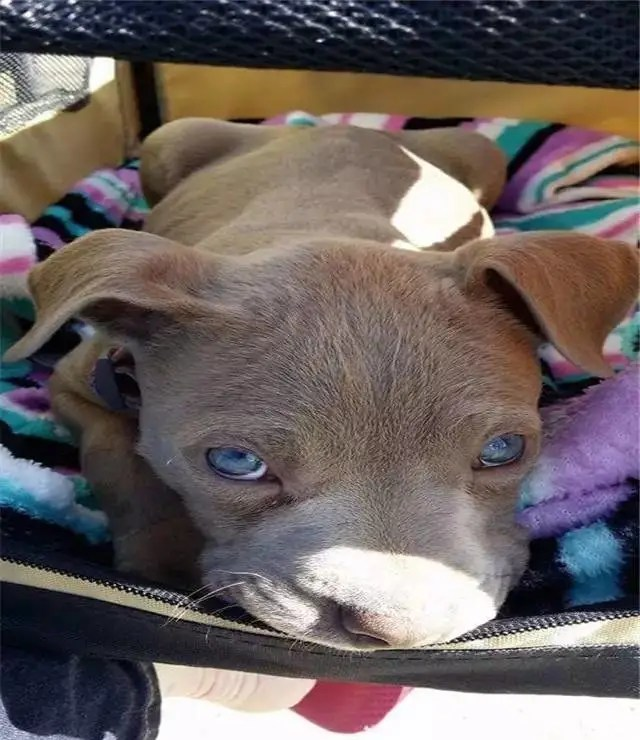 这只狗狗双腿瘫痪,而它的坚强却让很多人自愧不如!