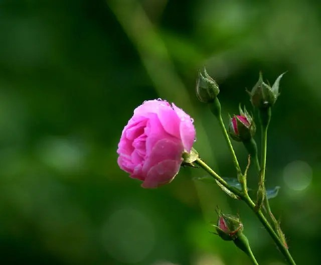 薔薇花不僅好看,養生效果也不賴!