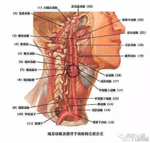 病理基礎上,按壓頸動脈竇就會導致死亡