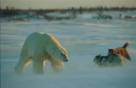 簡直不可思議,這條哈士奇遇到北極熊竟然沒有慫!
