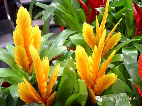 養花技巧:教你鳳梨花養殖方法和基本的養護!