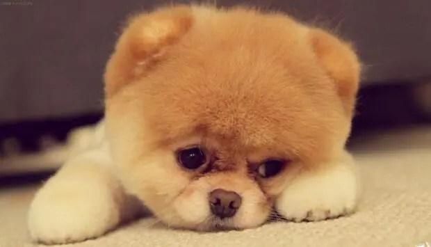狗狗不愛吃飯,很可能是這幾種原因導致的!