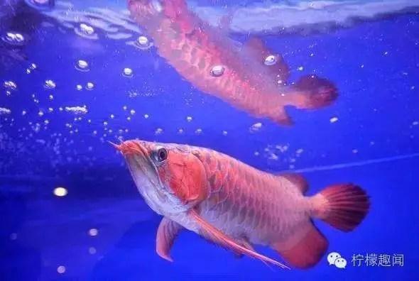 世上最昂貴的魚 一條近200萬元 但處境令人擔憂