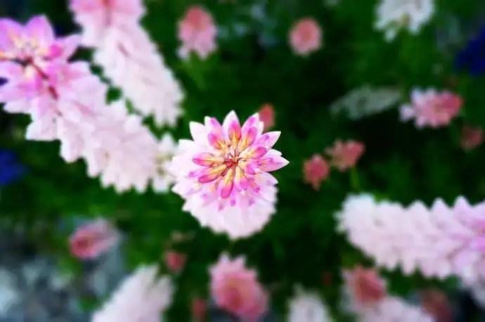 植物介紹——魯冰花原來長這樣!