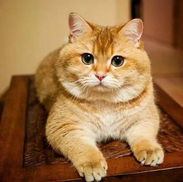 這橘貓天生一臉人家欠它小魚乾的表情,這大臉大眼