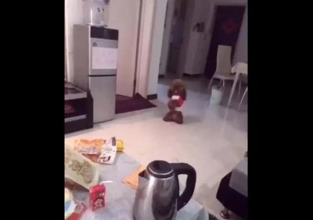 狗狗被主人騙不給零食吃,生氣坐地板,跟主人較勁