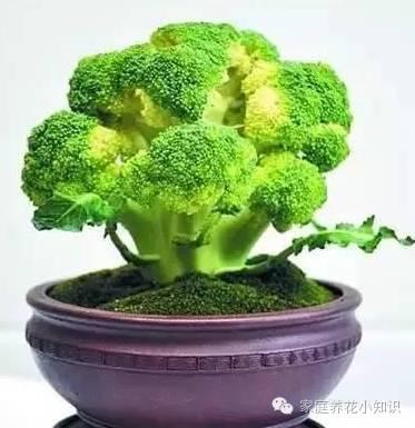 鑒賞:那些比花還美的蔬菜盆景,比如:西蘭花盆景