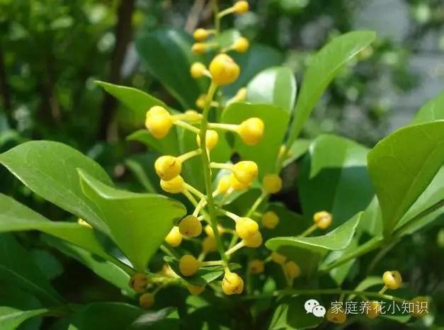 米蘭盆栽清新幽雅,尤其適合陳列於客廳書房!