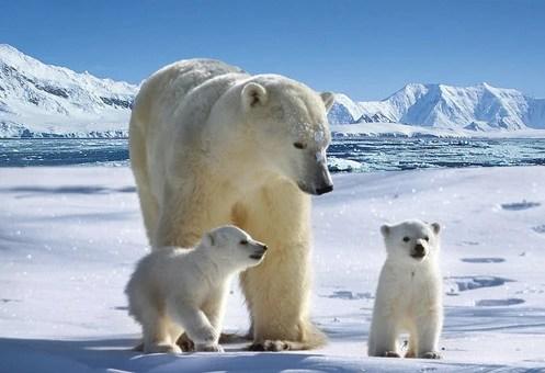 獵殺北極熊全過程,看了最後一張圖,滿屏都是心痛
