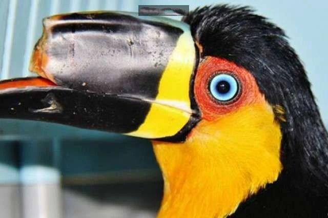 鳥喙斷裂的大嘴鳥幾乎活不下去,最後人類幫助了它