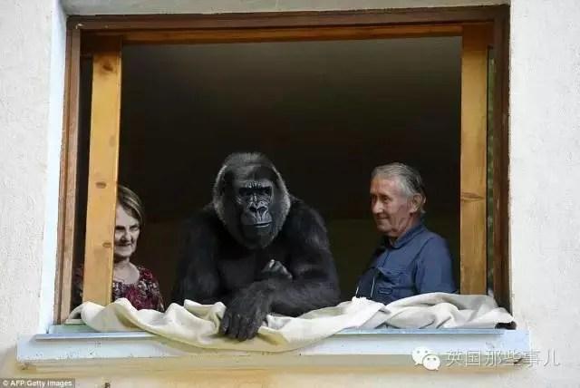 把這猩猩當女兒養了18年……你都想不到他們花了多少錢在香蕉上