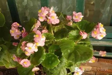 養花小技巧:怎樣讓四季海棠常年開花!