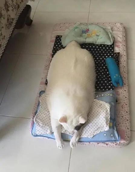據說在貓咪的世界,有種瘦叫做你主人覺得你很瘦!