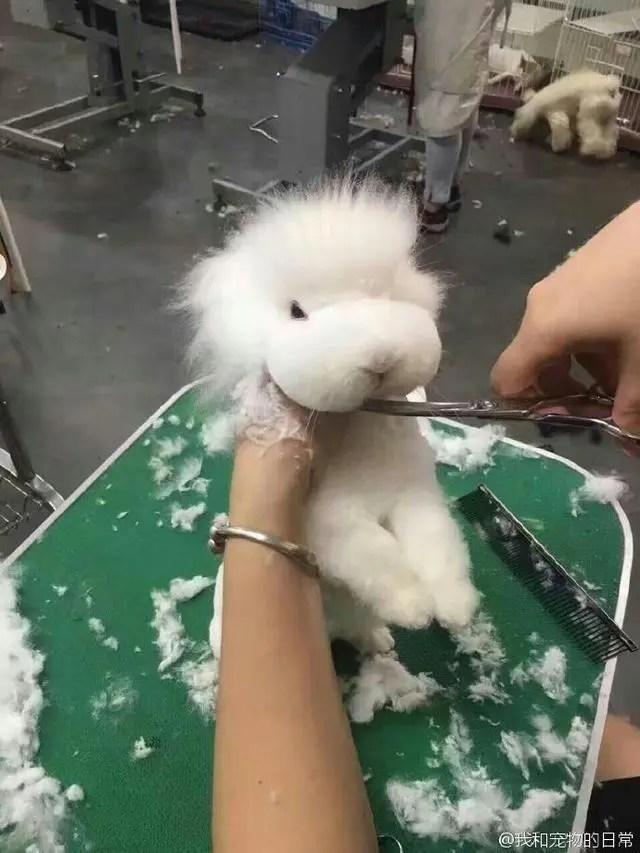 主人把給泰迪把剪成了兔子,希望回家不會得憂鬱症!