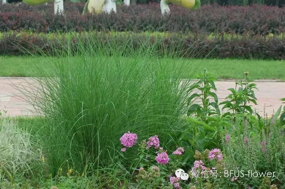 觀賞草系列——芒草類第700期