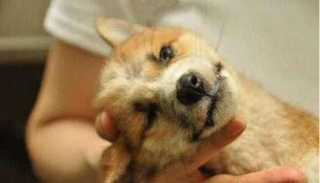 狗肉節里救出來的狗結局是什麼?看這隻狗絕望的眼神