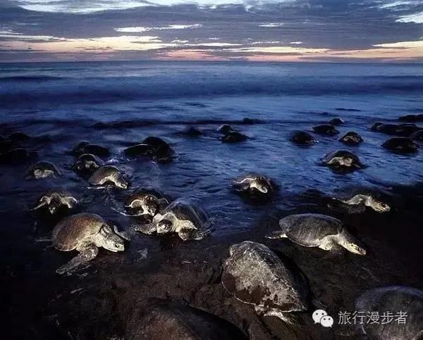 百年難遇!千隻海龜湧上沙灘!震驚世界的奇觀!