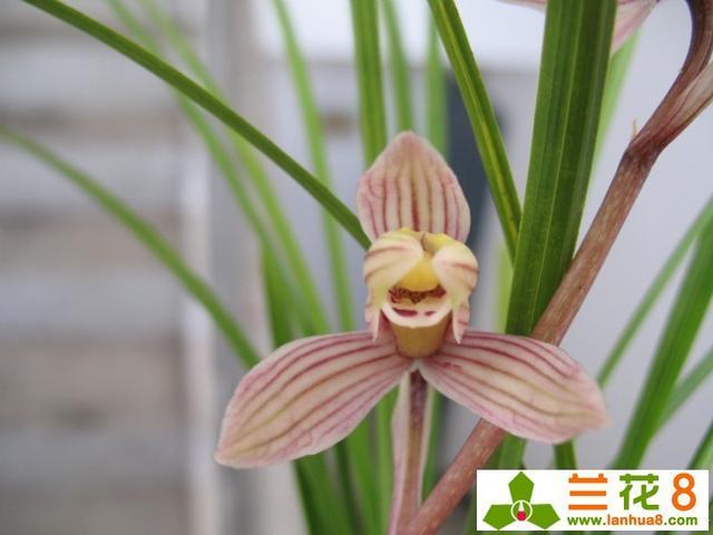 蘭花種植注意事項-經驗分享