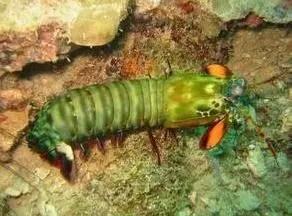 侏羅紀蝦,5千萬年前已經滅絕的蝦竟然「復活」了