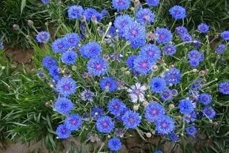 矢車菊一種能帶來好運,代表遇見和幸福的矢車菊如何盆栽