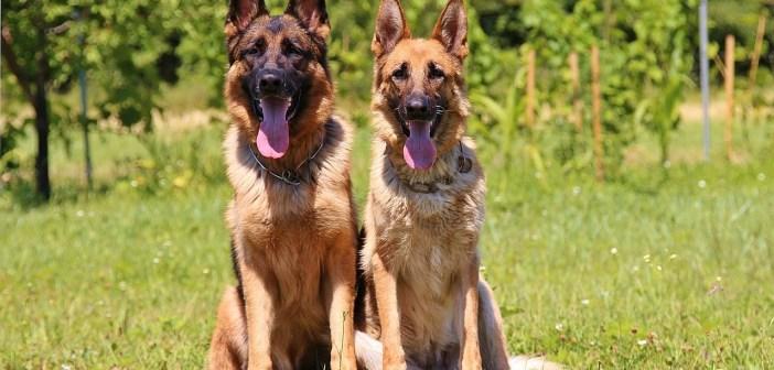 Dva psi už tvoří smečku