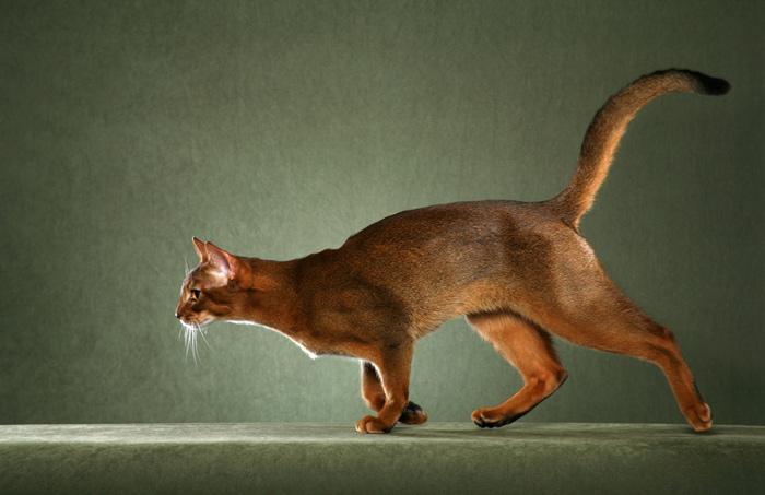 Habešská kočka má rychlé pohyby a mrštné tělo
