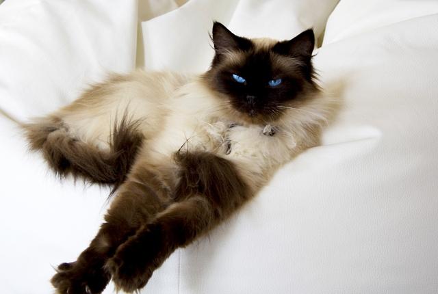 Ragdoll je mazlivá a přítulná kočka