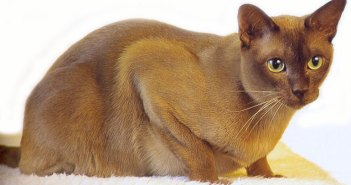 Barmská kočka evropského typu