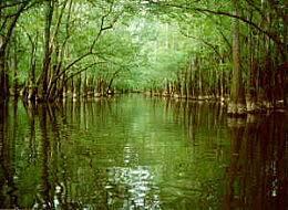 Congaree_swamp