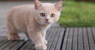 Pet-Cat