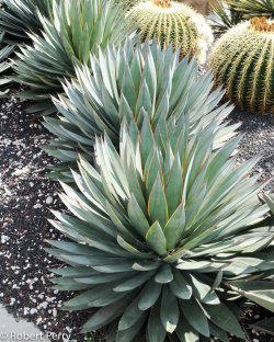 Small Of Agave Blue Flame