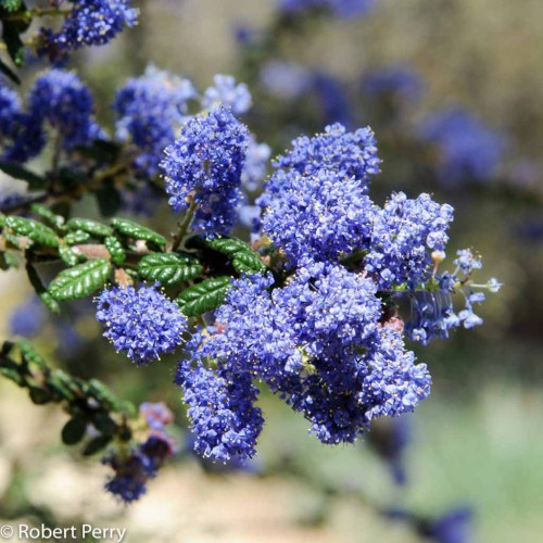 Medium Of Ceanothus Dark Star