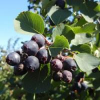 Innovador proyecto con berries canadienses