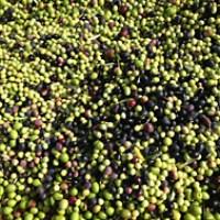 Estudiando los usos posibles de los residuos de las olivas