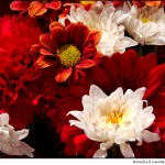 red-and-whte-flowers