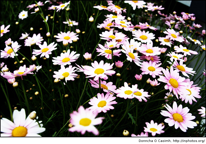 Little Daisies Everywhere