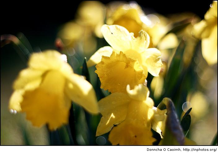 Crowded daffodils