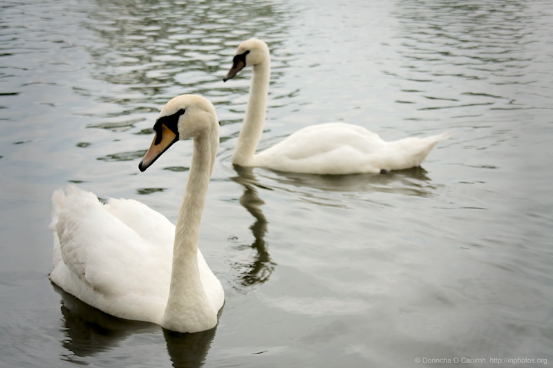 Lough Swans