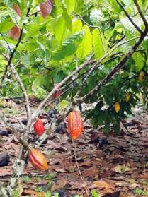 Ripe cocoa pod on tree, Loma Sotavento Cacao plantation, Dominican Republic
