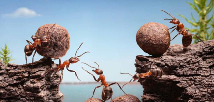 'Ben' Değil 'Biz' Diyen Karıncalar